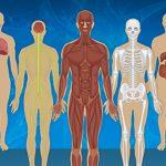 ระบบอวัยวะในร่างกาย