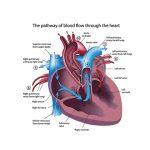 ระบบไหลเวียนโลหิต (Circulatory system)